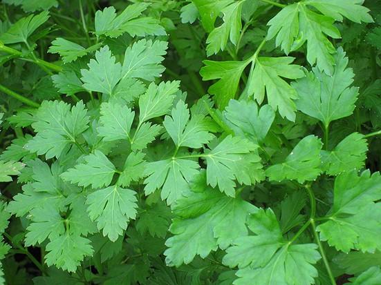 листья петрушки